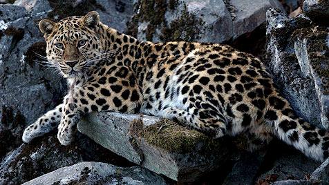 Ein Nationalpark für die letzten Amur-Leoparden (Bild: WWF)