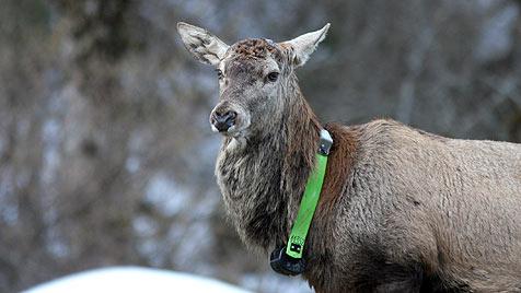 Heimische Hirsche werden ab 2012 mit GPS überwacht (Bild: ÖBf-Archiv/Dominik Dachs, Franz Kovacs)