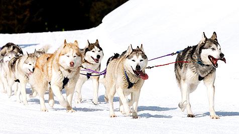 Kanadier für Morde an Schlittenhunden angeklagt (Bild: thinkstockphotos.de)