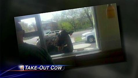 "Entflohene Milchkuh in den USA lief zu McDonald""s-Filiale (Bild: KUSA-TV)"