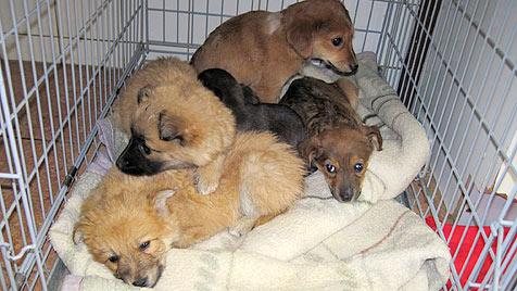 Tierheime pflegen herzlos ausgesetzte Welpen gesund (Bild: Tierheim Dechanthof)