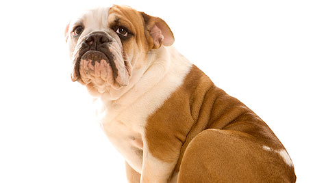 Betrunkene in den USA biss ihre Bulldogge (Bild: thinkstockphotos.de)