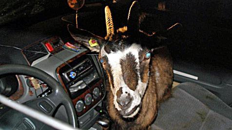 Sturer Ziegenbock als ungebetener Beifahrer an Bord (Bild: Polizei)