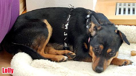 Hunde suchen ein neues Zuhause (Bild: Boxernothilfe Austria)