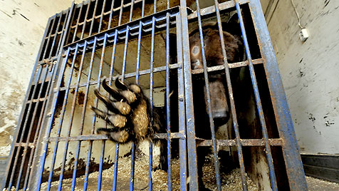 """""""Vier Pfoten"""" retten ukrainischen Wodka-Bären (Bild: Vier Pfoten)"""