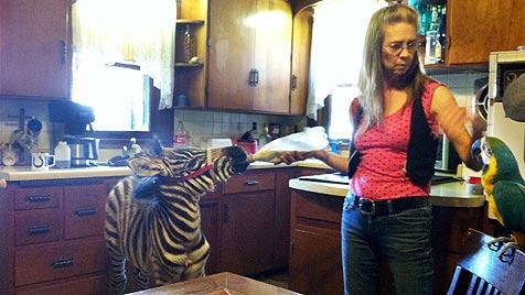 Betrunkener hatte in den USA Zebra auf dem Rücksitz (Bild: AP)