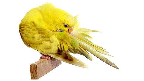 Wie du deinen Vogel in der Mauserzeit unterstützt (Bild: thinkstockphotos.de)