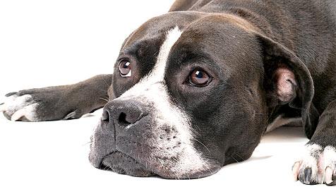 Halterverein ortet immer stärkere Hundefeindlichkeit (Bild: thinkstockphotos.de)