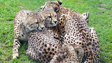 Erneut Gepard aus Salzburger Zoo ausgebüxt (Bild: APA/Neumayr/MMV)