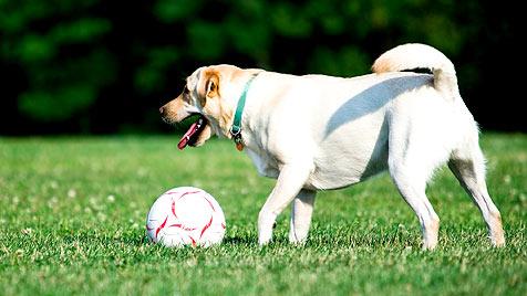 So werden Ihr Hund und Sie zu Fußball-Profis (Bild: thinkstockphotos.de)