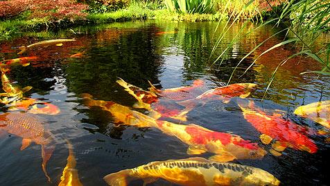Wetterkapriolen sind kein Problem für Teichfische (Bild: thinkstockphotos.de)