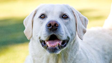 Unbekannter schoss mit Luftdruckwaffe auf Hund (Bild: thinkstockphotos.de)