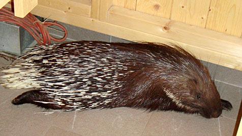 OÖ: Stachelschwein verirrt sich in Sauna von Wellnesshotel (Bild: APA/EVELYN STEININGER)