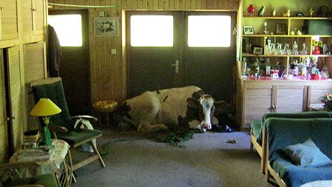 D: Ausgebüxte Kuh machte es sich in Haus gemütlich (Bild: dpa/Polizeidirektion Bad Segeberg)