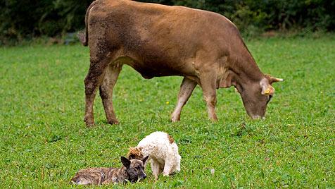 Bayer verteidigte auf Tiroler Alm Hund vor Kuh (Bild: thinkstockphotos.de)