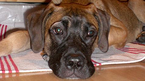 """Kranker Junghund """"Cooper"""" sucht ein neues Zuhause (Bild: Nina Tassul)"""
