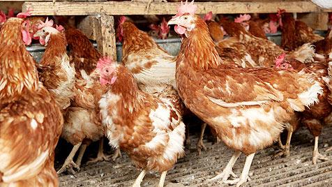 5.000 Hühner in steirischer Halle qualvoll erstickt (Bild: Jürgen Radspieler, Symbolbild)
