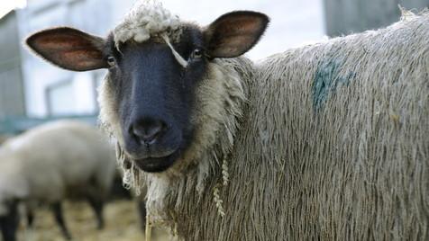 Schafe melden ihrem Züchter per Handy Viehdiebe (Bild: EPA)
