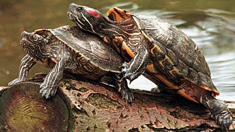 US-Schildkröten machen heimische Gewässer unsicher (Bild: dpa)