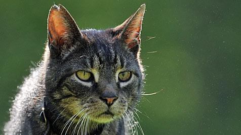 Tierschützer zeigen Bauer an, der in OÖ Katze töten wollte (Bild: dpa/Bernd von Jutrczenka (Symbolbild))