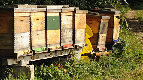 Bienen stachen zu: Jogger klagt Bauern auf Schmerzensgeld (Bild: Hannes Markovsky)