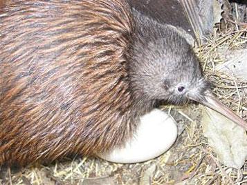 """Kiwi-Papa """"Matt"""" rettete sein Ei vor Überschwemmung (Bild: EPA)"""