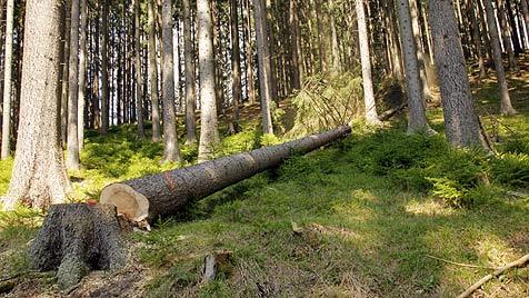 OÖ: 53-Jähriger schneidet Baum um - Eltern tot (Bild: Jürgen Radspieler (Symbolbild))