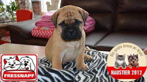 """Wird dein Welpe das """"Süßeste Hundebaby 2012""""? (Bild: Kurt Stiendl)"""