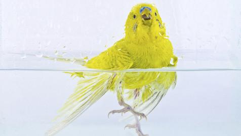 So bereitest du deinem Vogel den perfekten Badetag (Bild: thinkstockphotos,de)