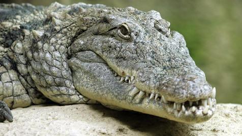 """""""Vier Pfoten"""" für strengere Gesetze bei Wildtierhaltung (Bild: Klemens Groh (Symbolbild))"""