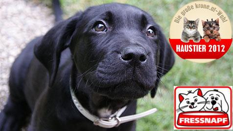 """Welcher Welpe wird das """"Süßeste Hundebaby""""? (Bild: Romina Gassl, Fressnapf, krone.at)"""