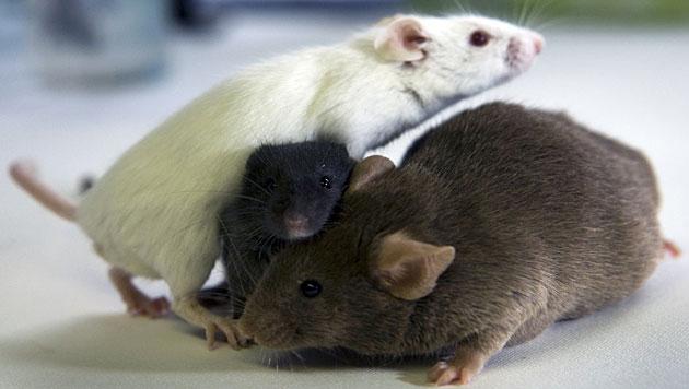 Kranke Mäuse ziehen sich von der Gruppe zurück (Bild: APA/dpa/Jens Büttner (Symbolbild))
