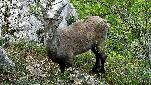 Empörung über Jagd auf Steinböcke aus Wildpark (Bild: dpa/Uwe Hihn (Symbolbild))