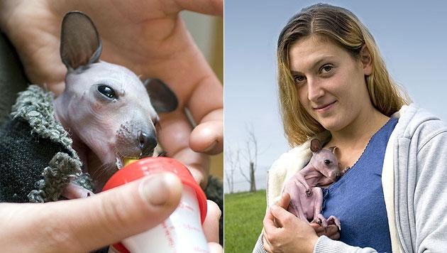 Baby-Känguru wird nun von Ziehmama großgezogen (Bild: APA/ZOO SCHMIDING)