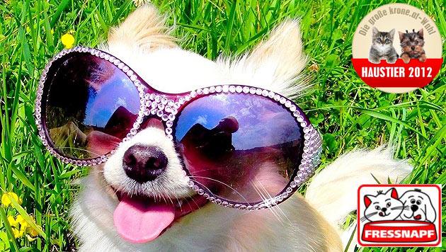 """""""Coco"""" ist der witzigste Hund 2012 (Bild: Daniela Schlick)"""