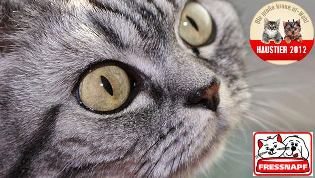 """""""Lina"""" ist die schönste Katze 2012 (Bild: Martin Bachofner)"""