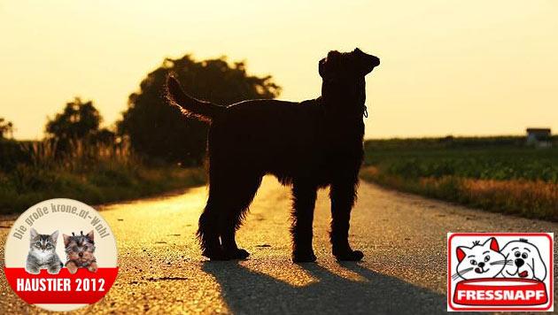 """""""Paco"""" ist der schönste Hund 2012 (Bild: Sabine Johann)"""