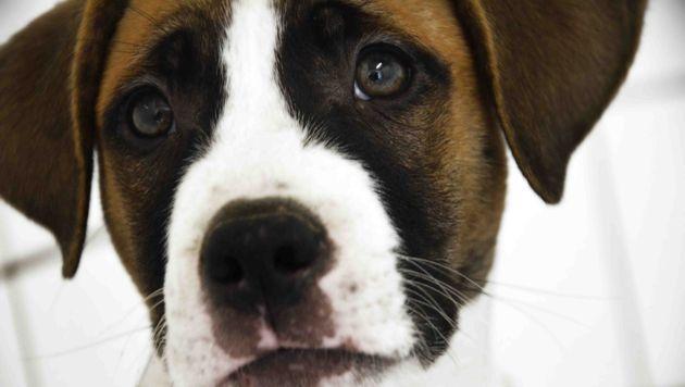 """""""Vermehrung von Listenhunden ist verantwortungslos"""" (Bild: Tierheim Bruck)"""