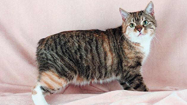 """Diese Katzenrassen eignen sich auch für """"Hundemenschen"""" (Bild: thinkstockphotos.de)"""