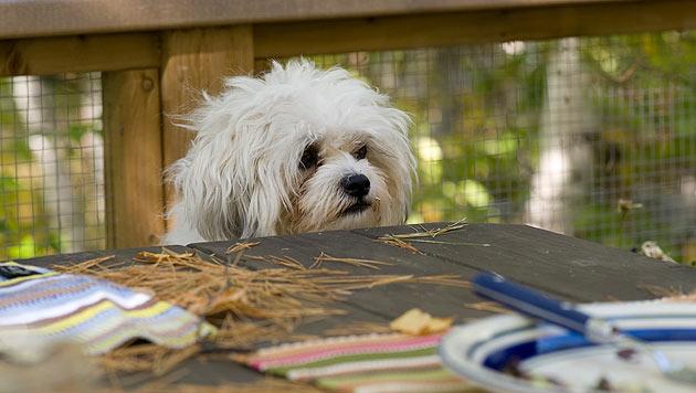 So verhinderst du, dass dein Hund am Tisch bettelt (Bild: thinkstockphotos.de)