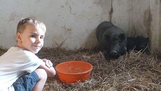 Zahlreiche Minischweine in NÖ beschlagnahmt (Bild: Manuela Kreuzer)