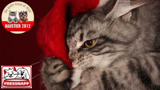 """Amy"" ist die witzigste Katze 2012 (Bild: Selina Hesselaar)"