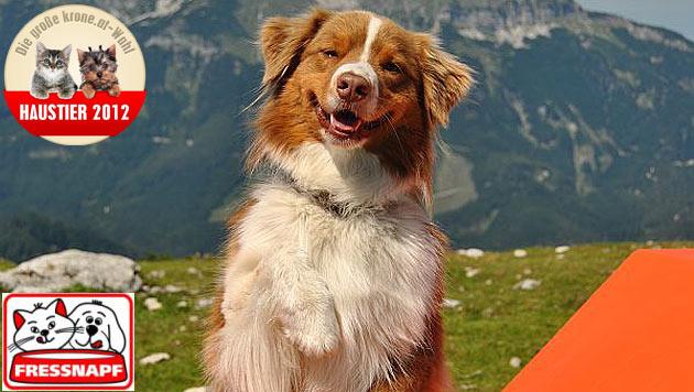 """""""Justy"""" ist der verspielteste Hund 2012 (Bild: Claudia Duroska)"""