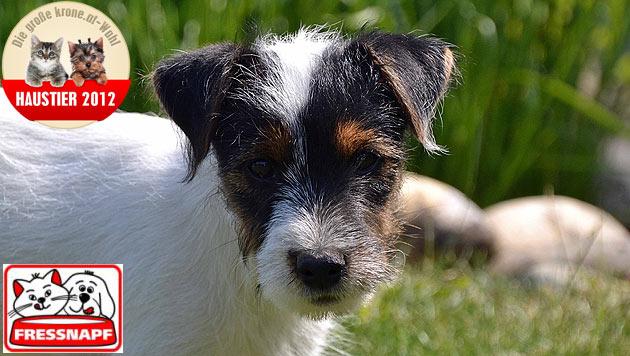 """Tony"" ist das süßeste Hundebaby 2012 (Bild: Viktoria Gass)"