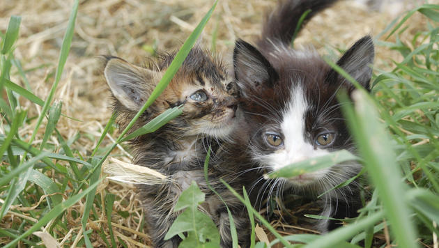 Harmonie zu dritt: Ein Mensch und zwei Katzen (Bild: thinkstockphotos.de (Symbolbild))
