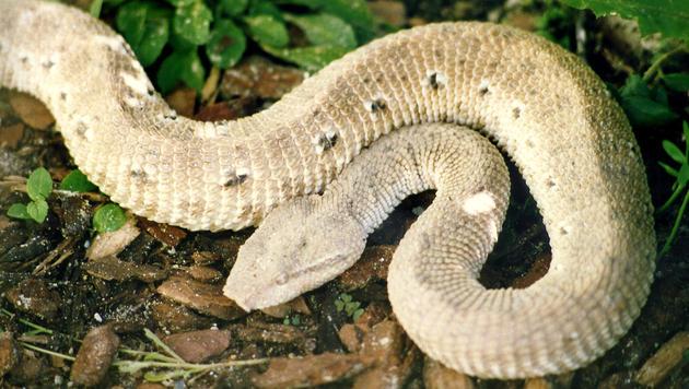 Mann von Schlange gebissen: Weltweit kein Gegengift (Bild: APA/HELGA HAPP)