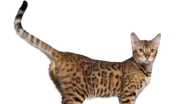 Das sagt Ihnen Ihre Katze mit ihrer Schwanzhaltung (Bild: thinkstockphotos.de)