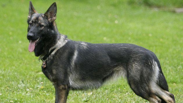 Polizeihunde schnappten Ladendieb und Einbrecher (Bild: dapd/Franka Bruns (Symbolbild))