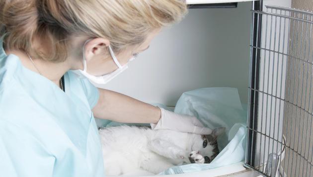 Tierarzt schläfert irrtümlich Katze ein, statt sie zu baden (Bild: thinkstockphotos.de (Symbolbild))