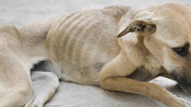 Hundehalterin ließ ihre drei Tiere verwahrlosen (Bild: thinkstockphotos.de (Symbolbild))